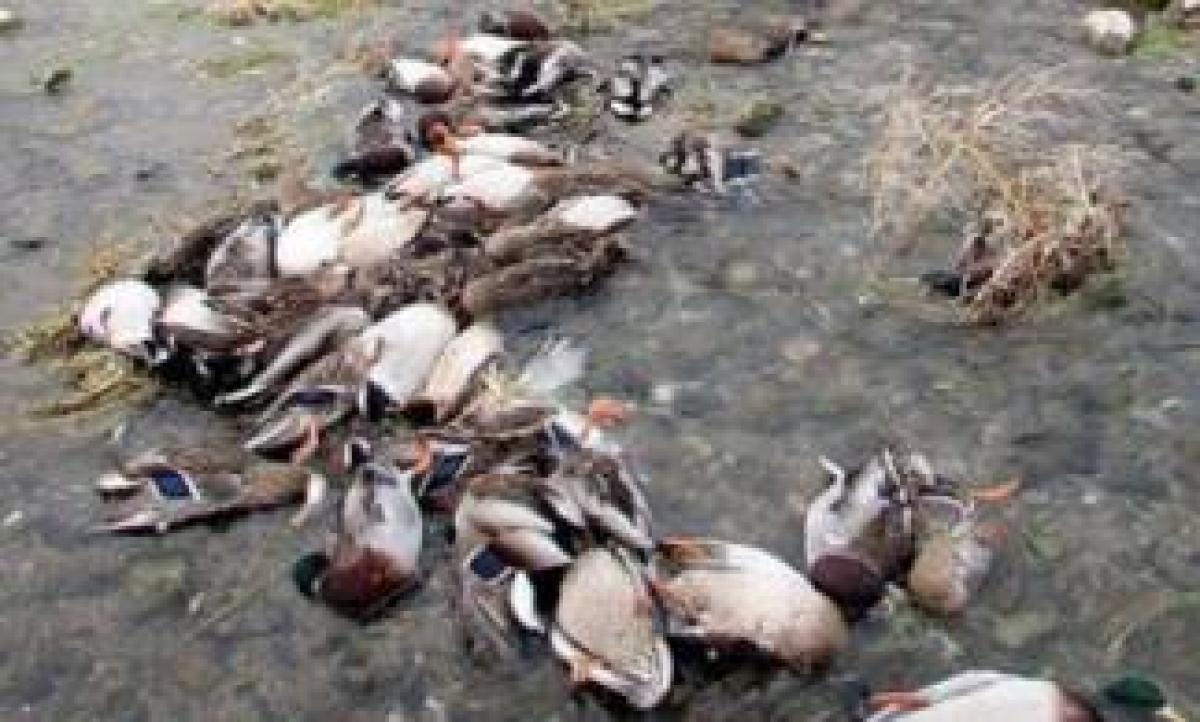 Сотни мертвых диких уток обнаружили в ВКО
