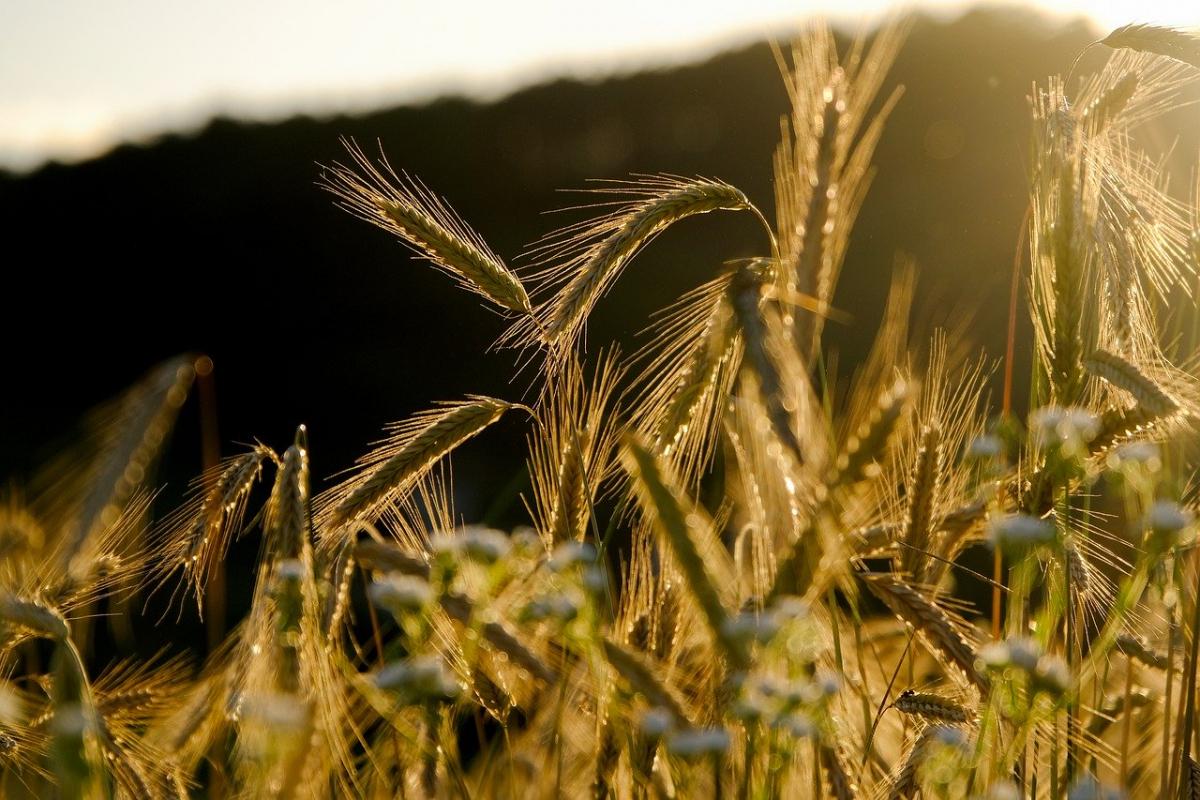 В Казахстане убрано 12,2 млн тонн зерна