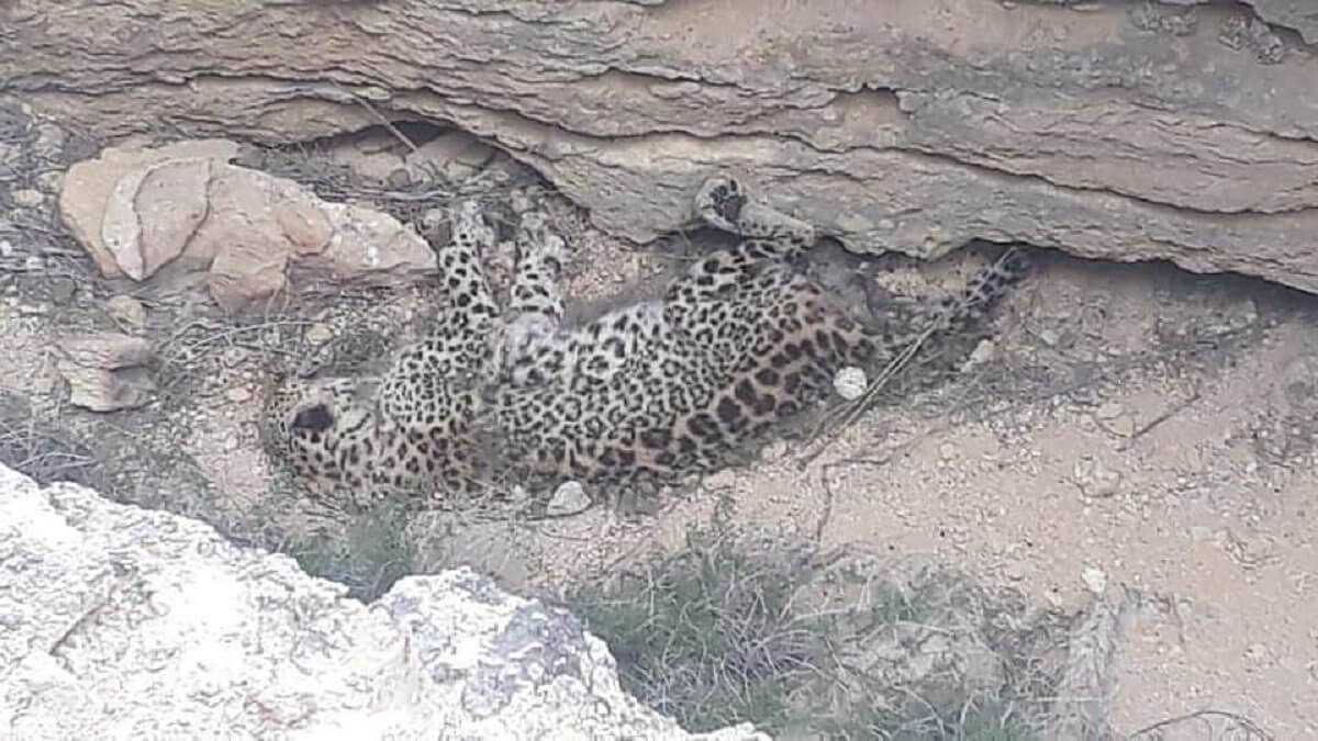 Мертвого леопарда нашли в Мангистауской области