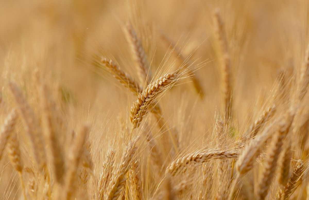 Мужчина, присвоивший пшеницу на 1,5 млрд тенге, задержан в Шымкенте