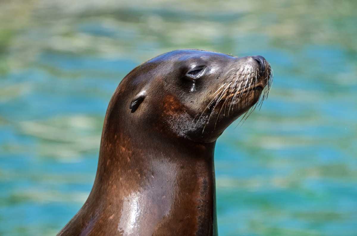 «Каспий отступает»: Тюлени потеряли своё основное лежбище