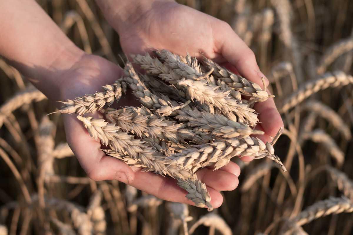 Убрано 11,8 млн. га зерновых и зернобобовых культур – МСХ РК