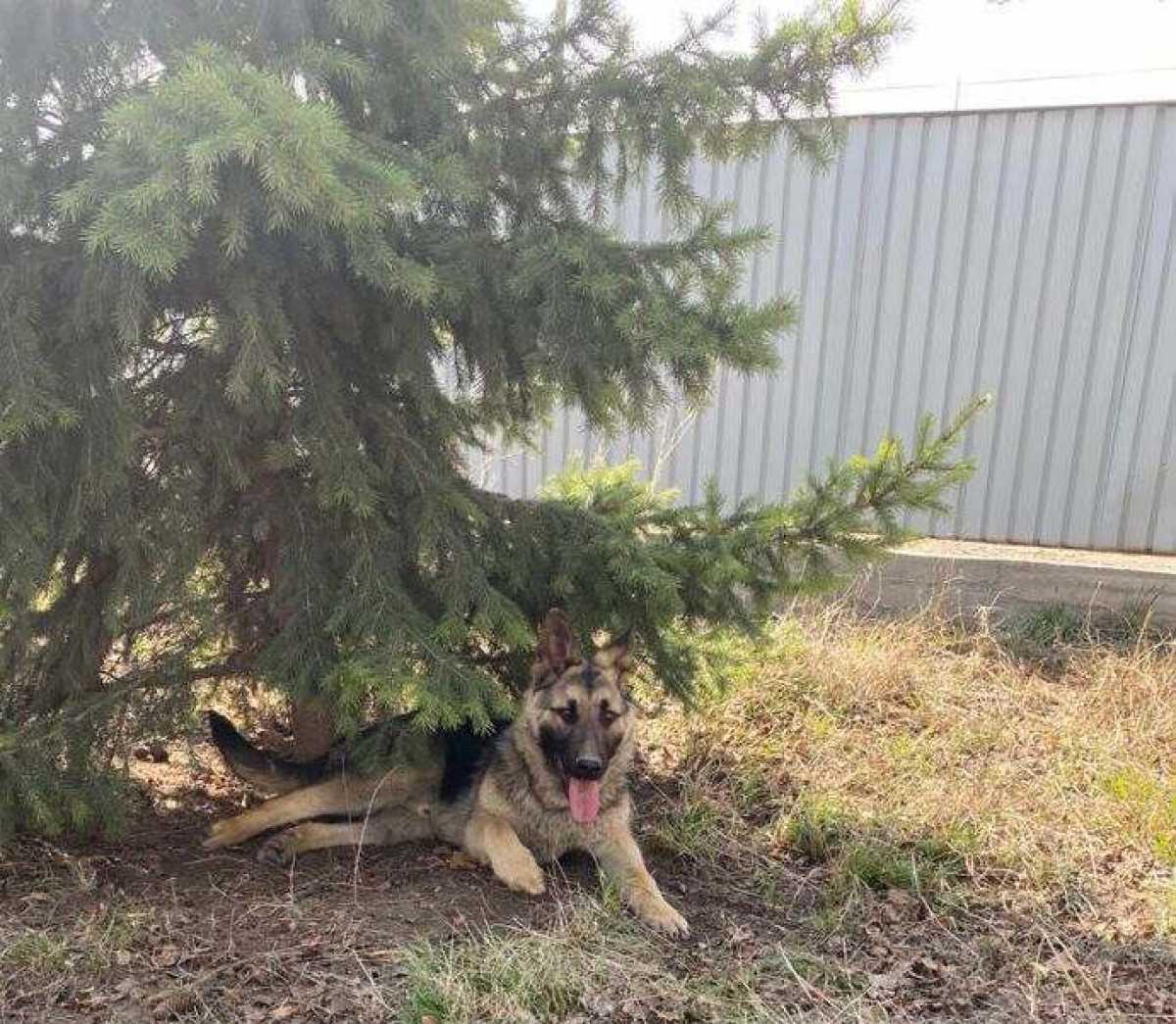 Служебная собака обнаружила наркотики у жителя ВКО
