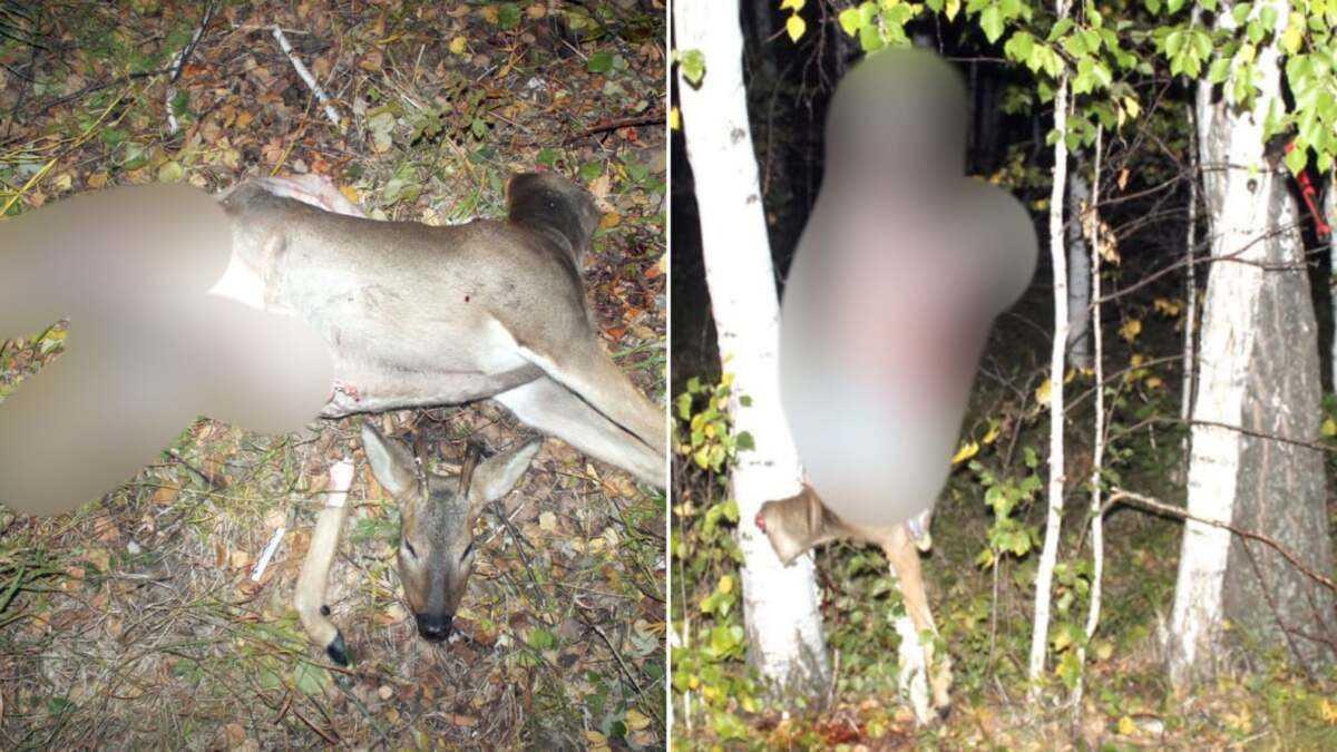 Браконьеры убили сибирскую косулю в особо охраняемой природной зоне в СКО