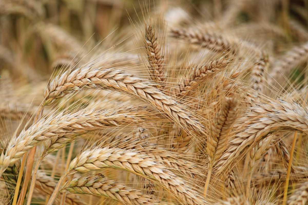 Цены экспортных поставок казахстанской пшеницы выросли на 5% за год, муки — на 6%